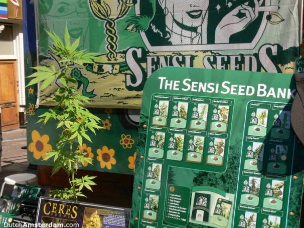 Cannabis plant and seeds on sale in Amsterdam